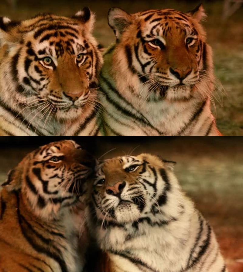 I LOVE tigers <3 definitely my favorite animals along with wolves <3 as far as I know animals should be illegal in the circus, I'm completely against it