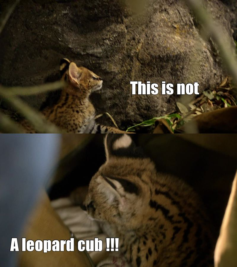 Still adorable - but it's more a bobcat cub than a leopard, look at those ears!!!! I liked the episode, but I hate the fake roars and noise that they put to the animals !!!!