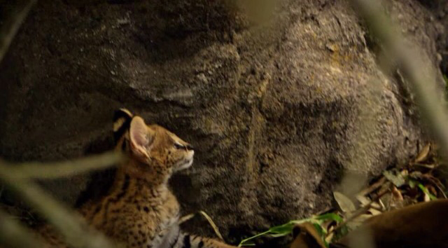 this is not a leopard... It is a serval .. 🙄🙄😡